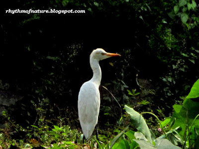 Cattle Egret ( Scientific name : Bubulcus ibis )