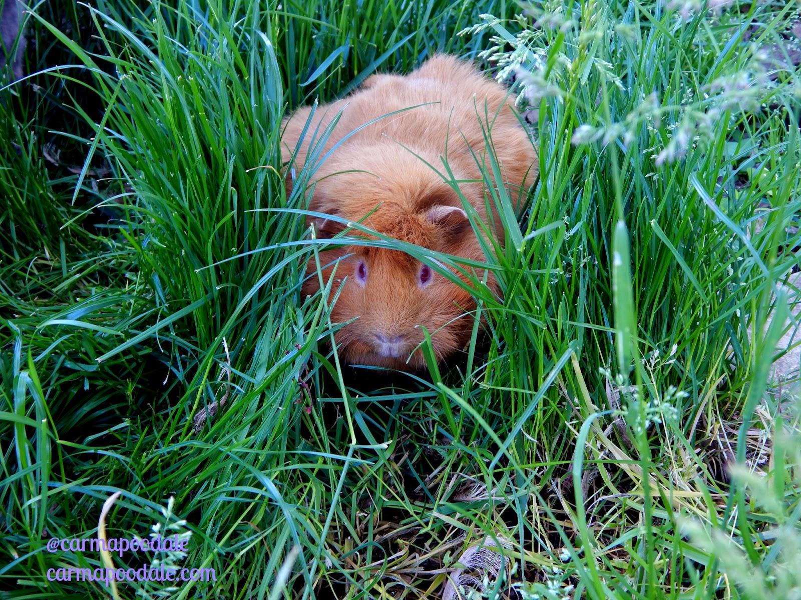 Guinea pig nibbling grass