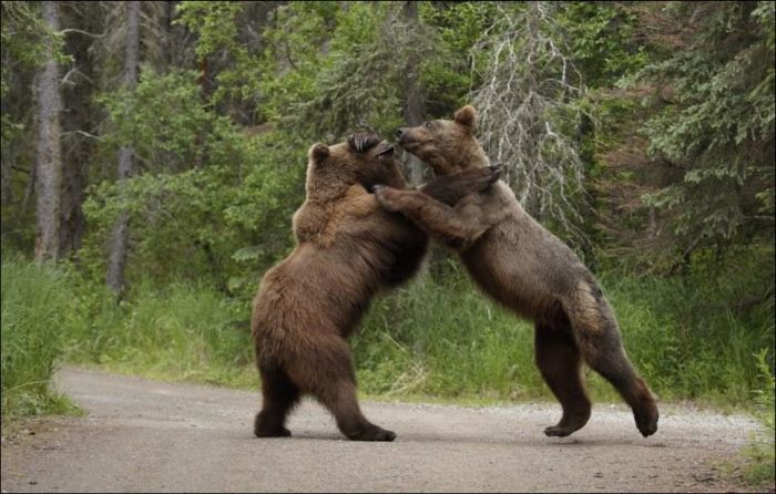 Two Brown Bears Fighting
