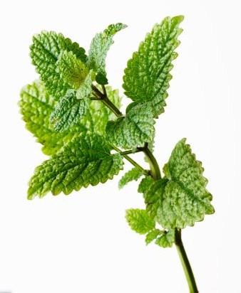 Ecomerci somos artesanos propiedades de la melisa - Planta de melisa ...