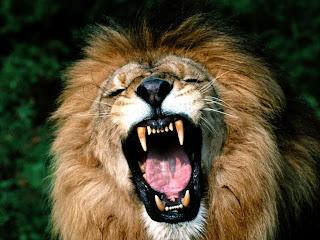 singa afrika | wallpaper singa