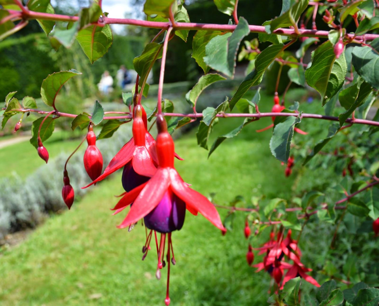flowers, garden, Fushsias, pretty, pink purple, photo, photography, colourful, grass,