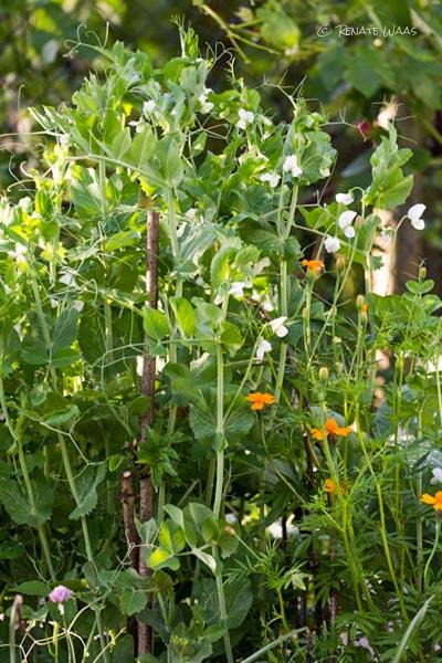 Gartenblog geniesser garten zuckererbsen zuckerschoten - Geniesser garten ...
