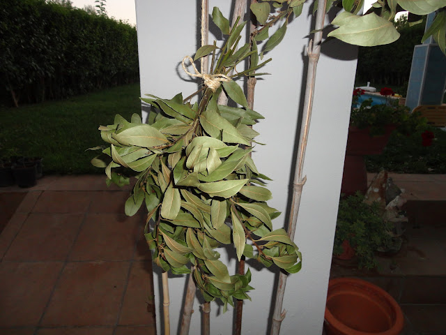 RAMOS DE LAUREL COLGADOS PARA SECAR SUS HOJAS. LAUREL (Laurus nobilis).