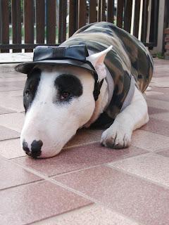 Bull Terrier Soldier Gallory : น้องหมา ในชุด ทหาร ออกศึก