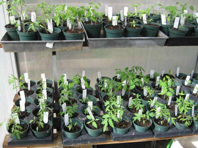 how to grow tomato plants indoors