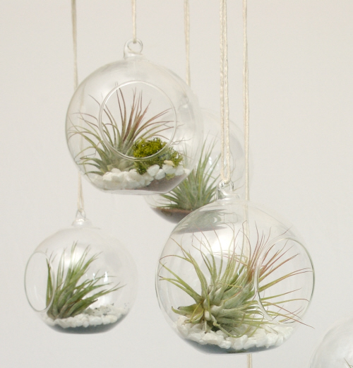 Air Plants In Our Hanging Terrariums