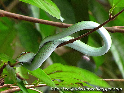 Wagler's Pit Viper (Tropidolaemus wagleri)