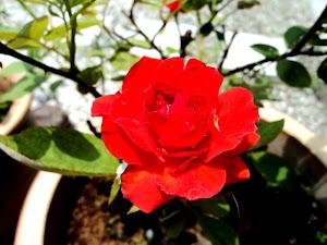 Kau Bunga Chentaku...