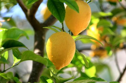 How to grow a lemon tree from seed the garden of eaden for Buy a lemon tree plant