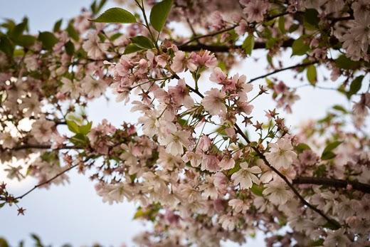 Sakura blossoms in Riga