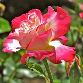A Fuller Garden Rose
