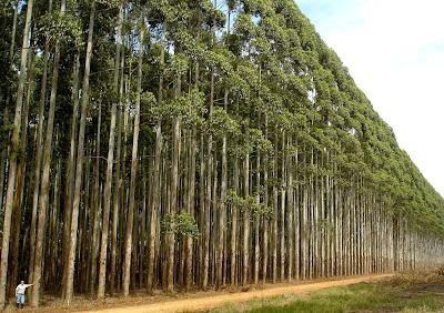 Reflorestamento com eucalipto ou pinus ilhote