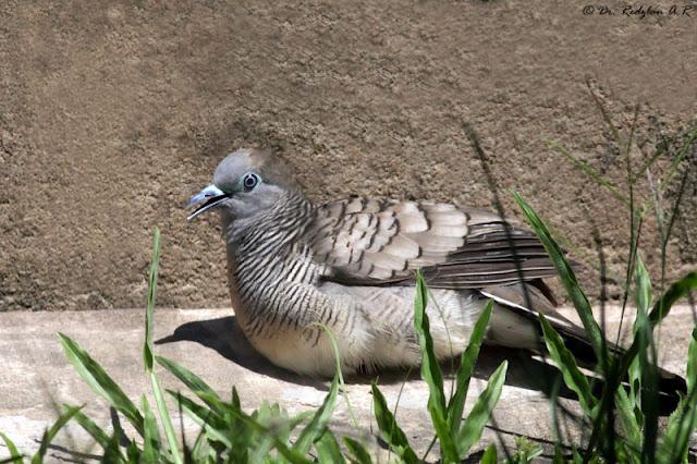 Zebra Dove sunning