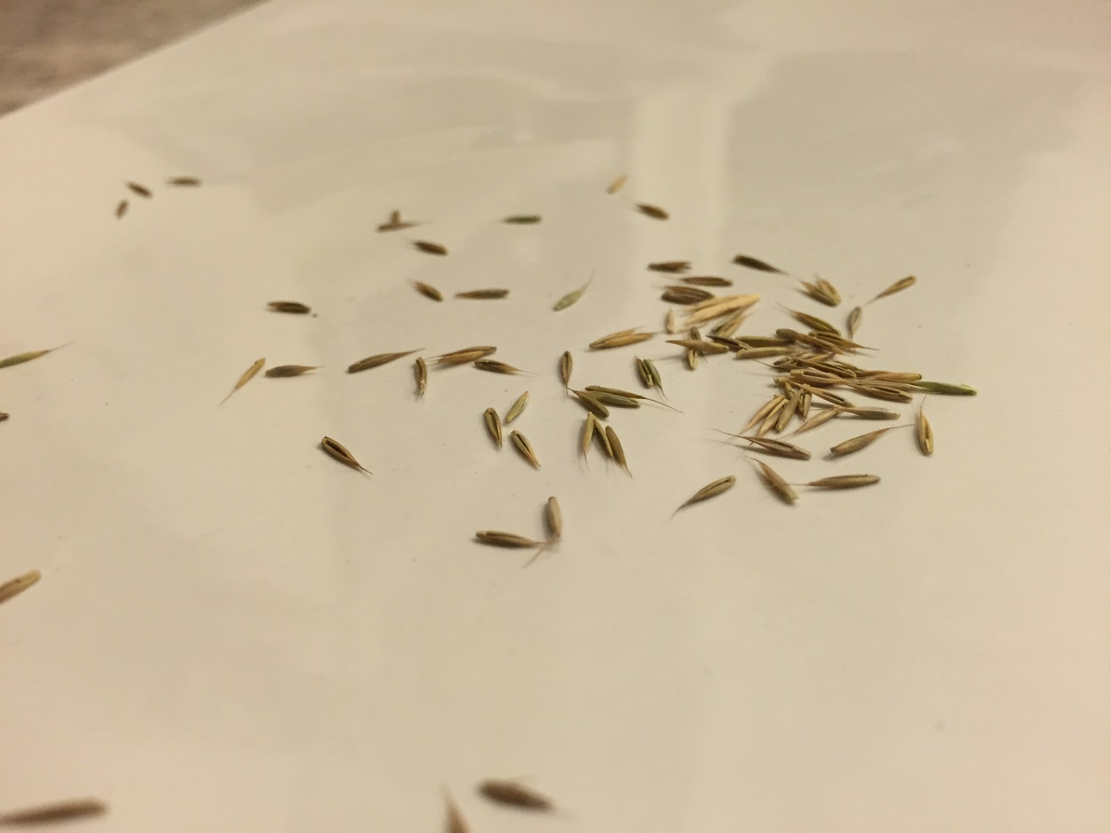 blue fescue seeds