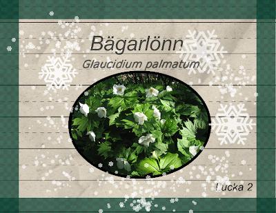 Bägarlönn Glaucidium palmatum Album