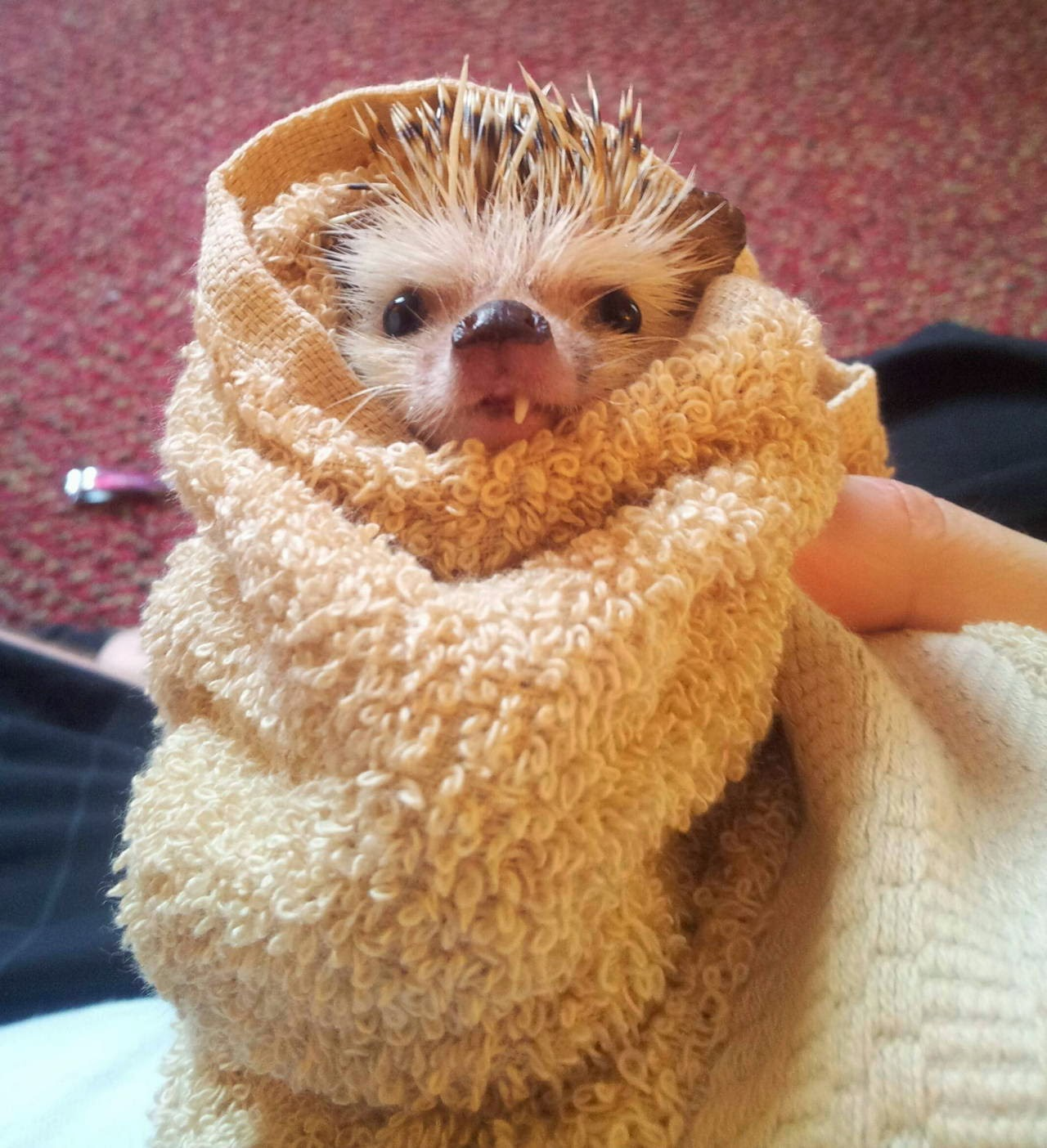 Funny animals of the week - 9 May 2014 (40 pics), cute animals, animal photos, hedgehog with one tooth