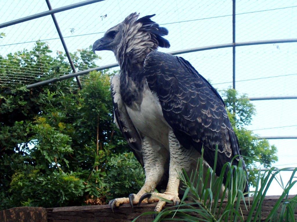 http://4.bp.blogspot.com/-hk2IcBGAFNM/TbsNfO5Bu4I/AAAAAAAAC7I/Um7yCRyOQFU/s1600/falcao-real-harpia-zoologico-henriquecaetano.jpg