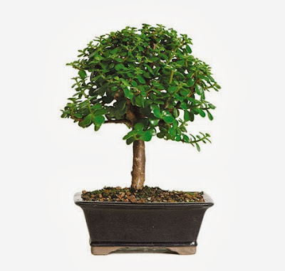 Soothing Company Dwarf Jade Bonsai Tree