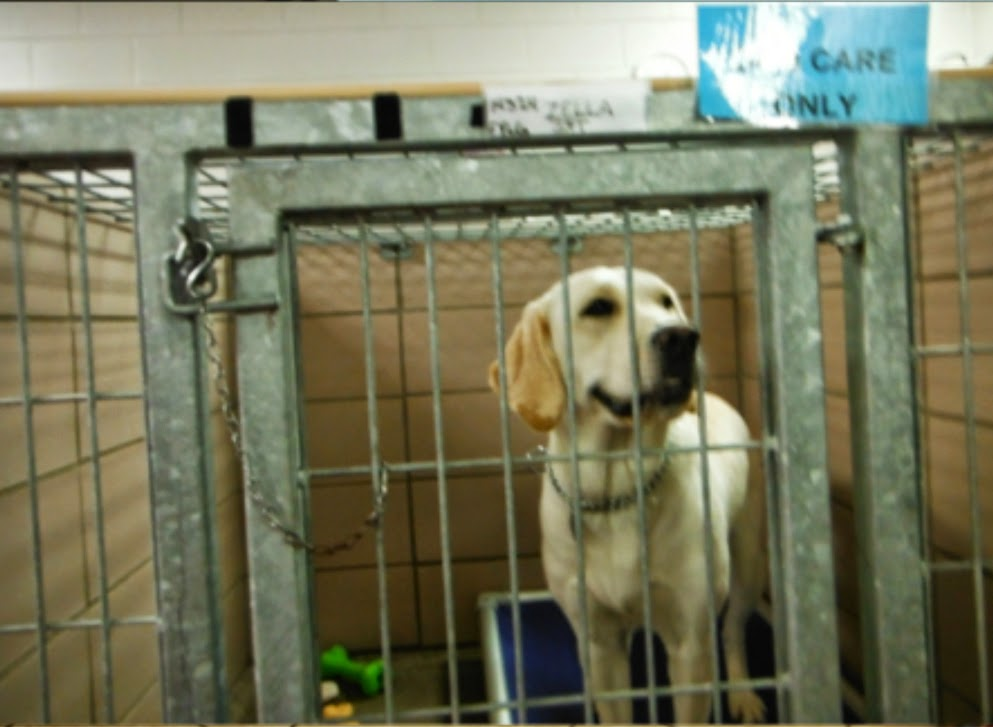 "A yellow lab is standing in a large commercial dog kennel, looking forward and to the right. She is standing on a blue karunda dog bed and there are a couple of toys on the floor to the left. There is a blue sign on the right top that says ""Dog care only."""