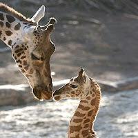 jirafa con su cría