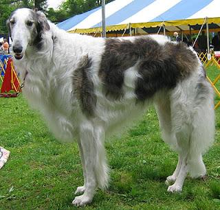 borzoi dog pets hound wallpaper photo