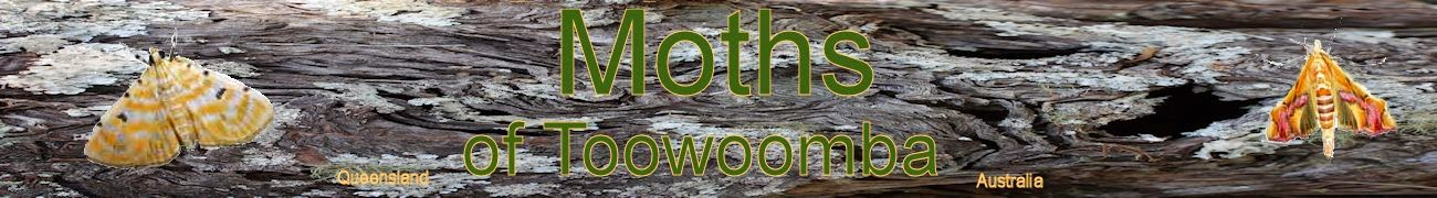 Moths of Toowoomba