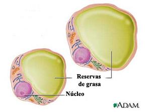 Células adiposas (adipocitos)
