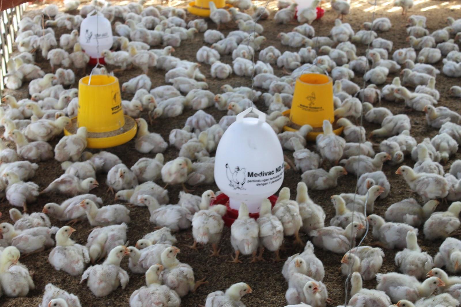 Untuk Anakan Ayam Broiler Potong Seperti Ini Kisaran Mulai Dari Rp125000 Rp500000 Harga Bisa Turun Naik