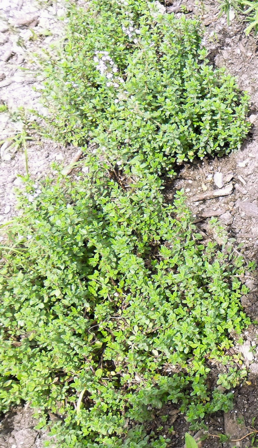 backyard patch herbal blog lemon thyme herb of the week