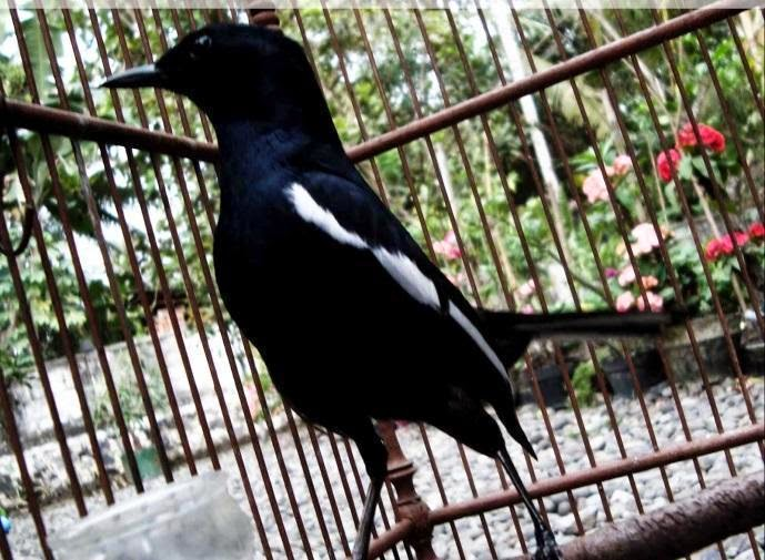 Cara Merawat Burung Kacer Lengkap