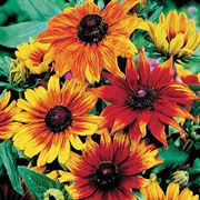 Rudbeckia - Autumn Colors Gloriosa Daisy
