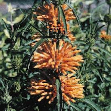 Leonotis leonurus-Orange lion's-tail