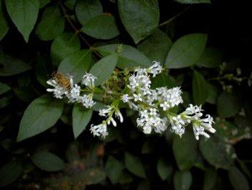 Deladelmur ligustro for Fiori bianchi profumati a grappolo