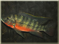 Zilli's Tilapia Fish Pictures