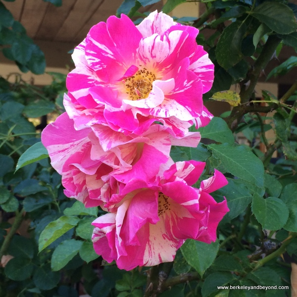 Easy Does It rose in vintage rose garden at Marin Art and Garden Center in Ross, California