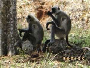 Hanuman Langurs, the most common monkey species in Khitauli zone.
