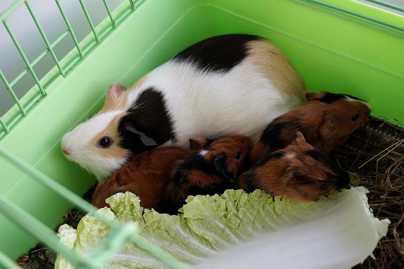Новорожденные морские свинки. Морская свинка родила четверых!