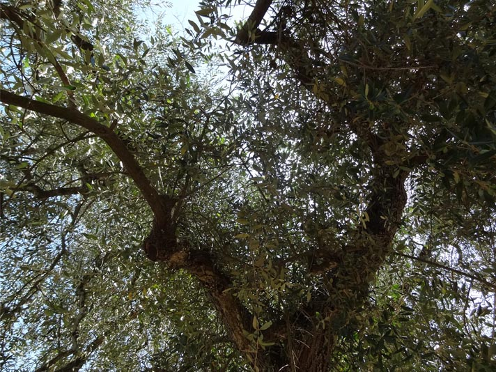 home to italy italy my 1 000 year old olive tree is. Black Bedroom Furniture Sets. Home Design Ideas