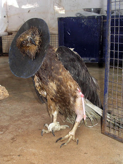 Injured Fish Eagle