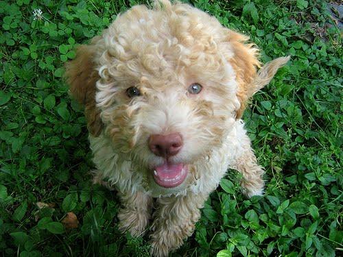Italian Water Dog For Sale Uk