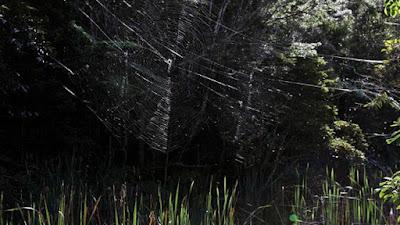 A pequena aranha que constrói a maior e mais forte teia do mundo