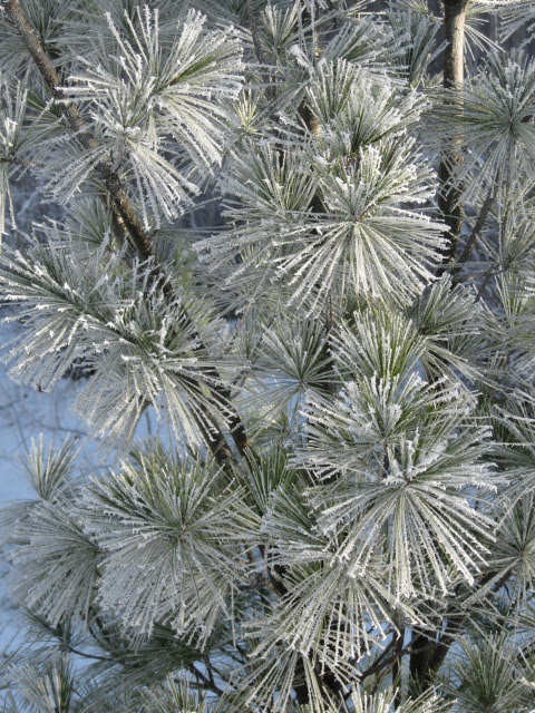 Hoar frost on white pine