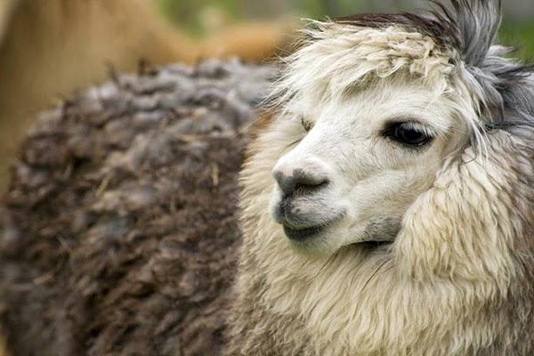 Животные Альпака - самые очаровательные представители семейства верблюдовых