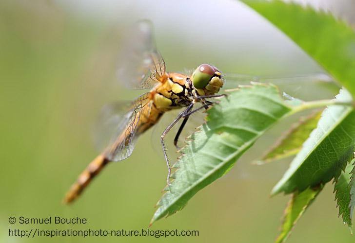 macrophotographie libellule