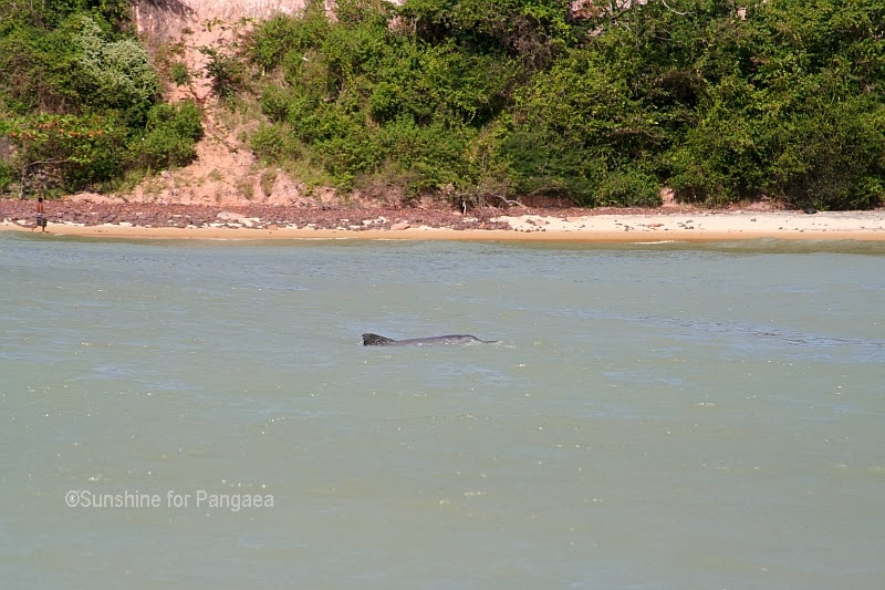 Grey Nose Dolphin in Pipa Beach/Brasilia