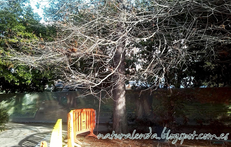 cipres calvo del jardin botanico