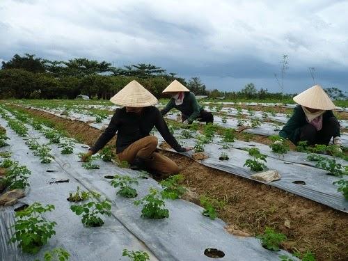 Cây Chùm Ngây sau 6 tháng là thời gian bắt đầu thu hoạch chính