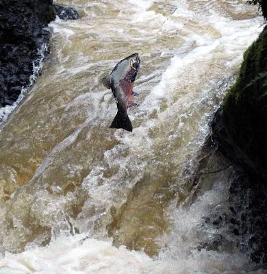 Coho Salmon, Inkwells Falls, San Geronimo Creek, Marin County