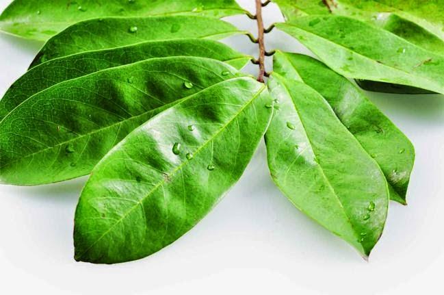 Obat herbal daun sirsak